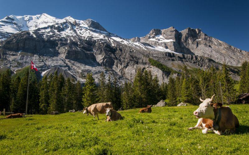 Switzerland mountains cows prairie wallpaper