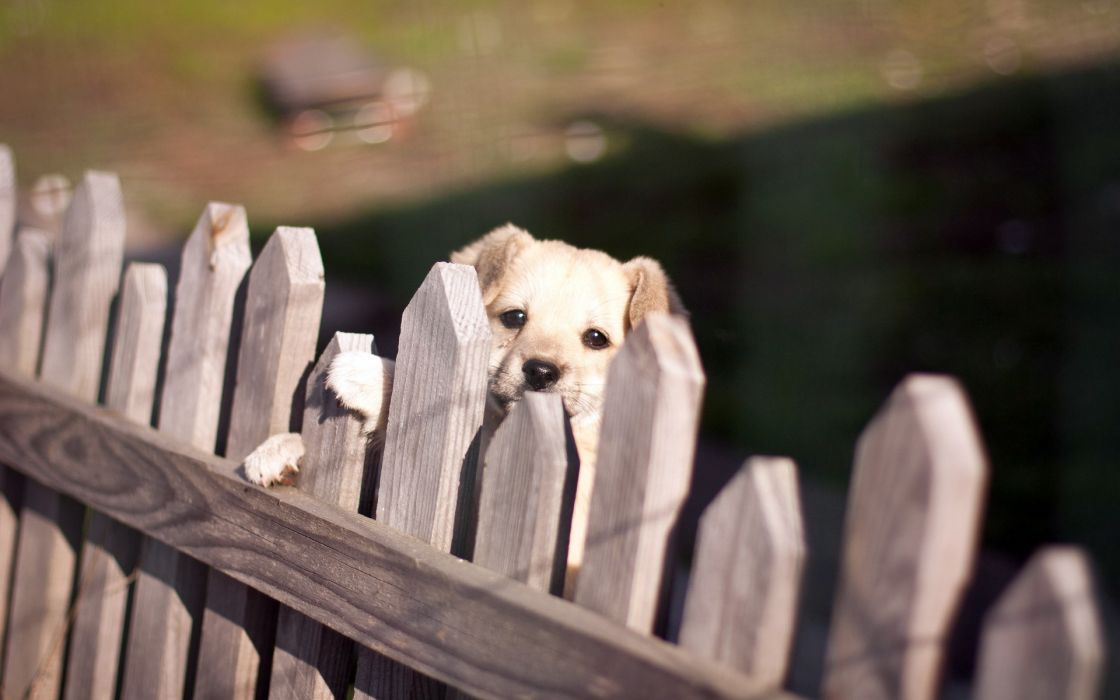 dog  fence  look babies puppy wallpaper