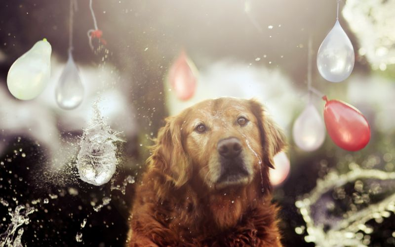 situation holiday dog water drops wallpaper