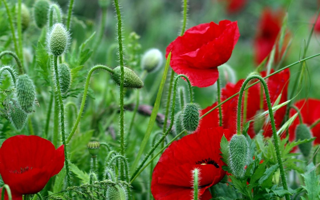 flowers  field  poppies  red  stems  leaves  bright wallpaper