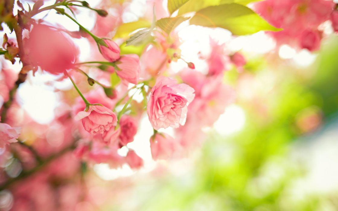 Tree Branches Pink Flowers Leaves Spring Macro Wallpaper