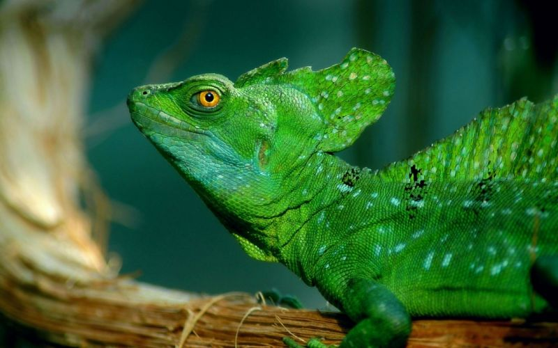 animals lizard wallpaper