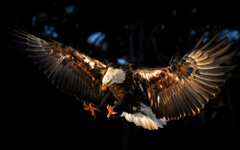Bald Eagle Bird wallpaper