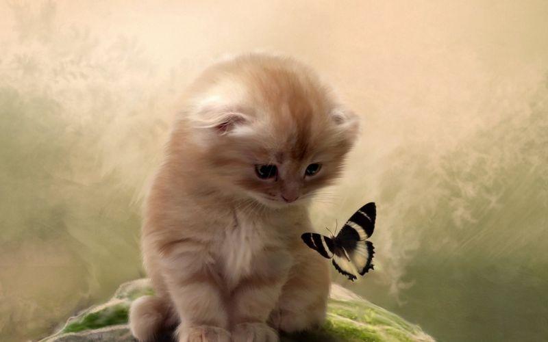 butterfly kitten cat wallpaper