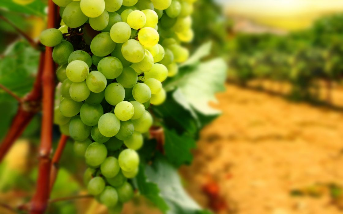 grapes leaves bunch fruit vineyard wallpaper