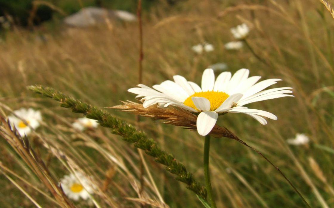 Chamomile  ear  grass macro flowers wallpaper