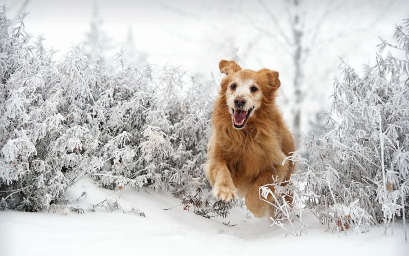 dog winter snow wallpaper