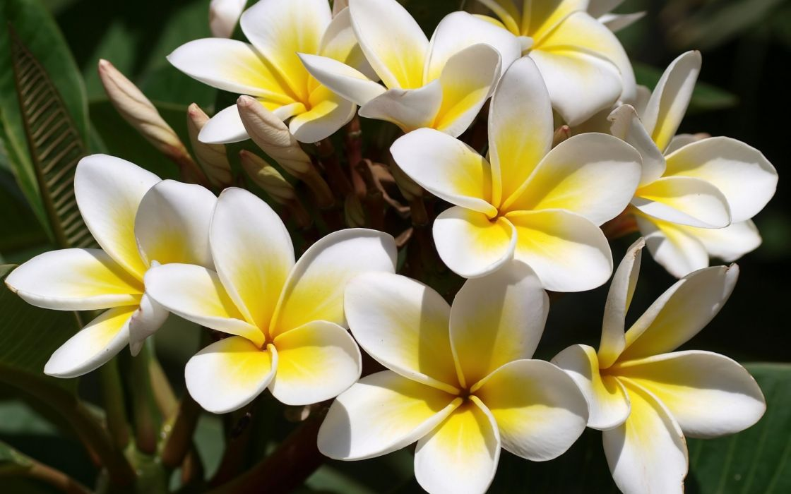 flowers Plumeria frangipani white yellow wallpaper