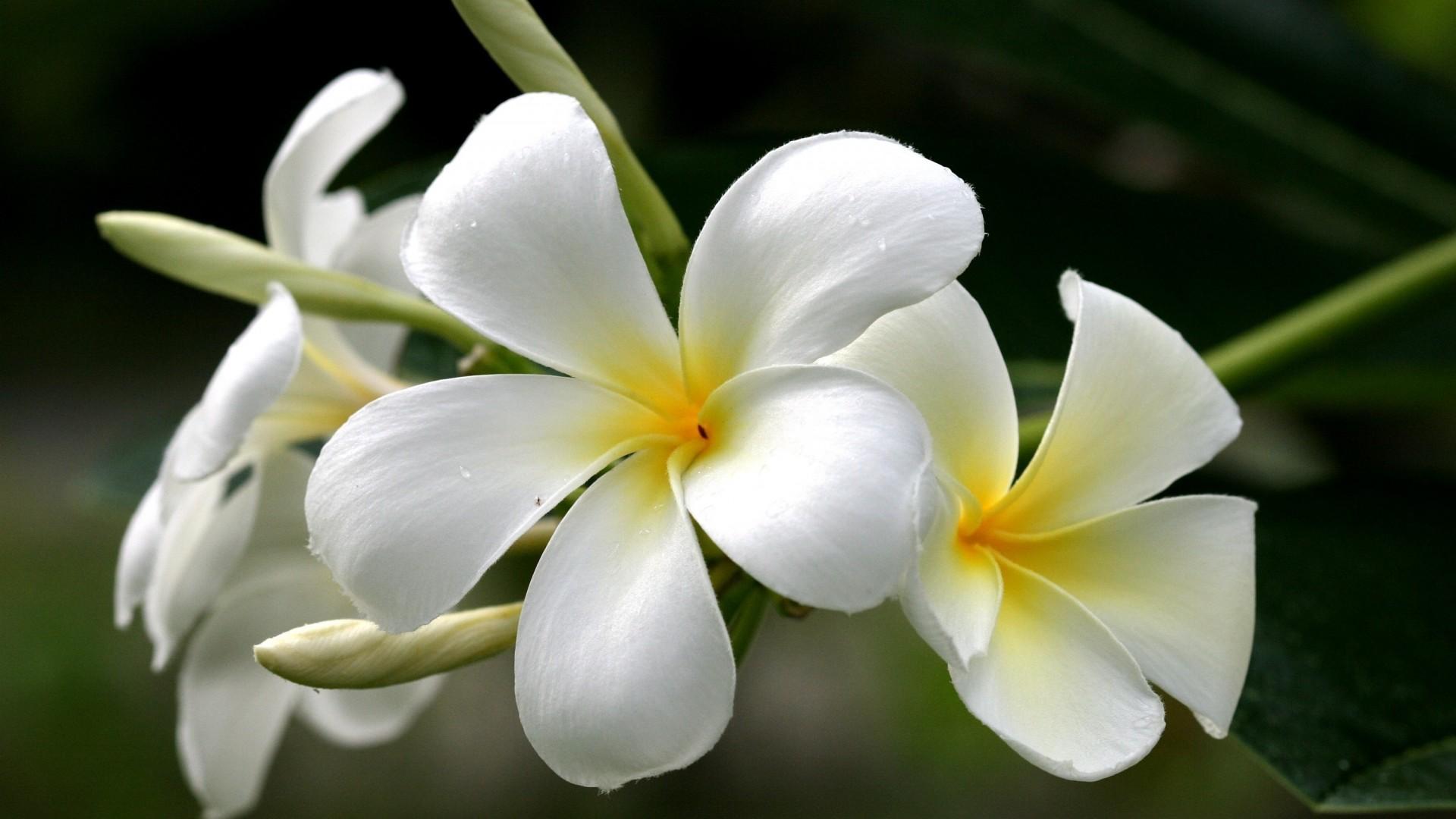 Flowers Plumeria Frangipani Yellow White Wallpaper 1920x1080