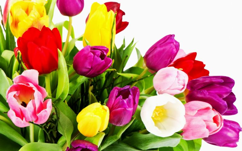 tulips white yellow red bouquet wallpaper
