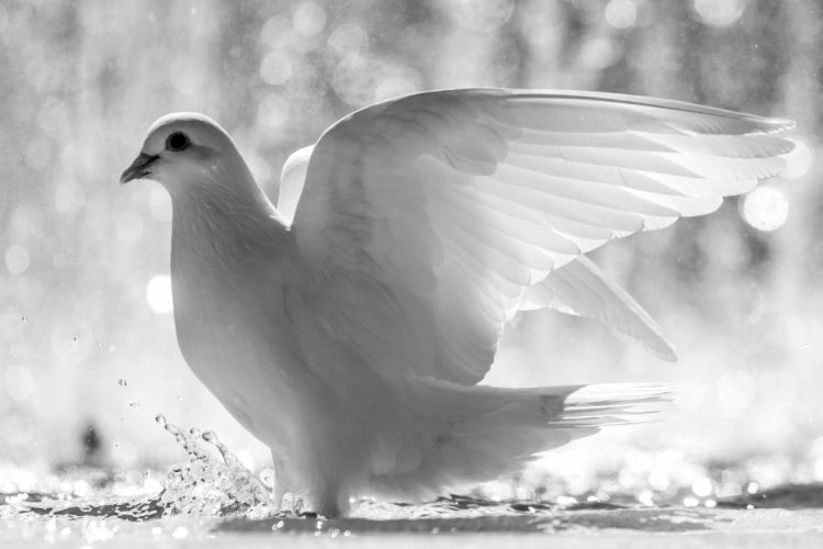 white bird wings feathers water spray dove drops wallpaper