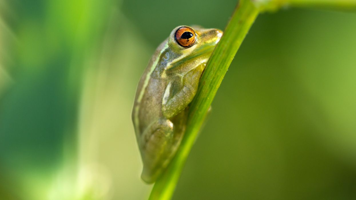 frog animal amphibian macro wallpaper