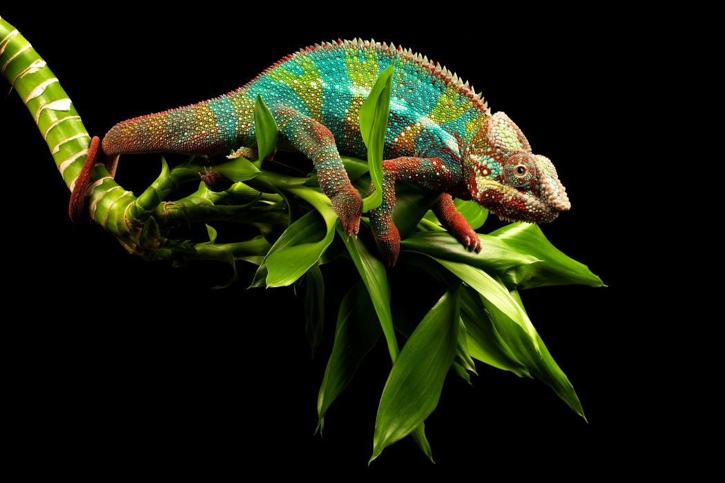 chameleon lizard branch eyes tail white green wallpaper