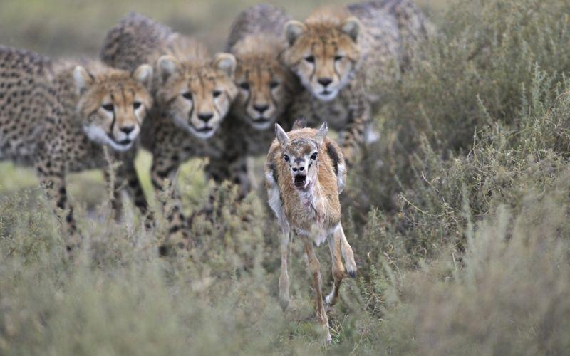 cheetah gazelle hunting wallpaper