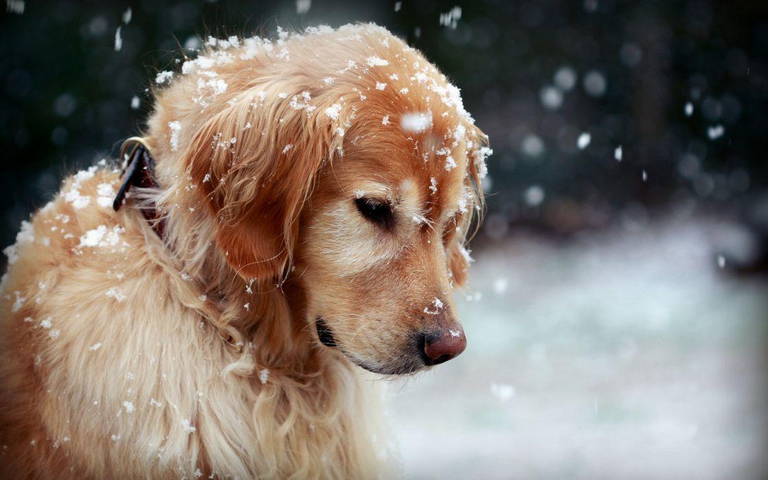 dog winter snow wallpaper