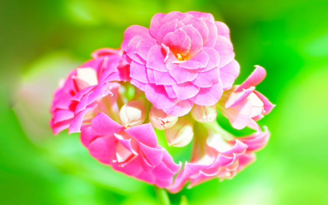 kalanchoe  pink  macro  green wallpaper