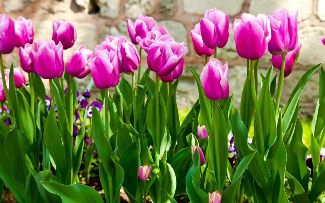 tulips purple stems leaves garden flowers spring wallpaper