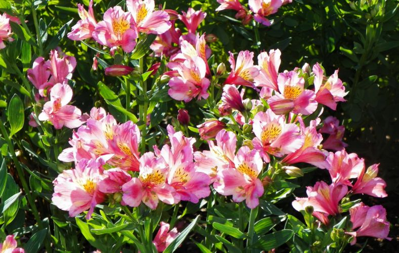 Alstroemeria Flowers wallpaper