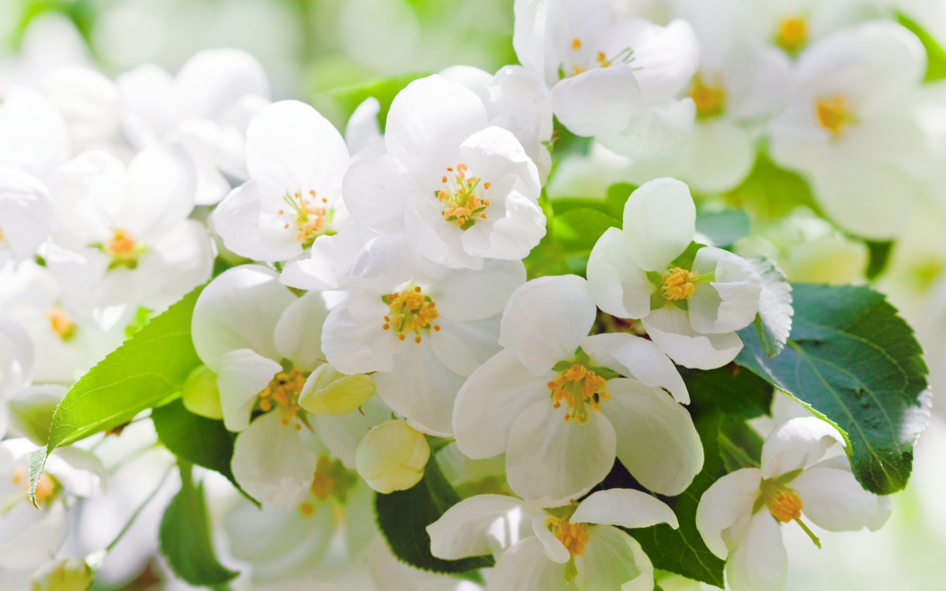 Cherry blossoms flowers white petals leaves branches trees spring wallpaper
