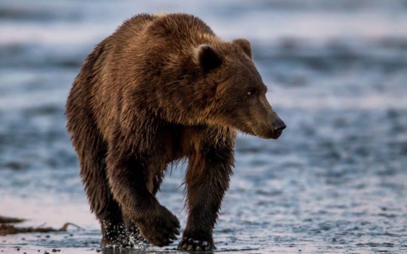 Bears Brown Animals wallpaper