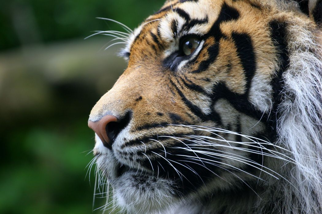 Big cats Tigers Glance Whiskers Snout Animals wallpaper