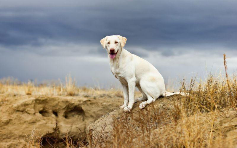 Dogs Animals wallpaper