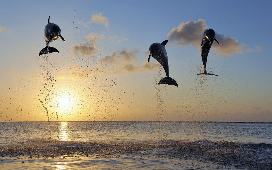 Dolphin Ocean drops sunset wallpaper
