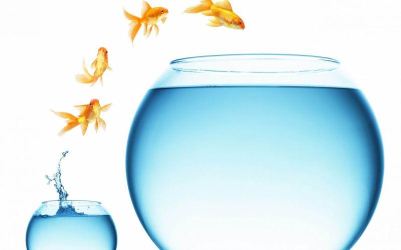 gold fish aquarium wallpaper