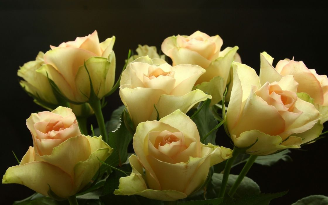 macro roses flowers bouquet wallpaper