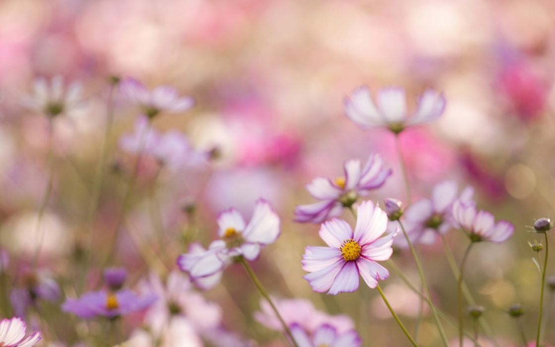 Kosmeya flowers white pink petals field close-up blurred macro wallpaper