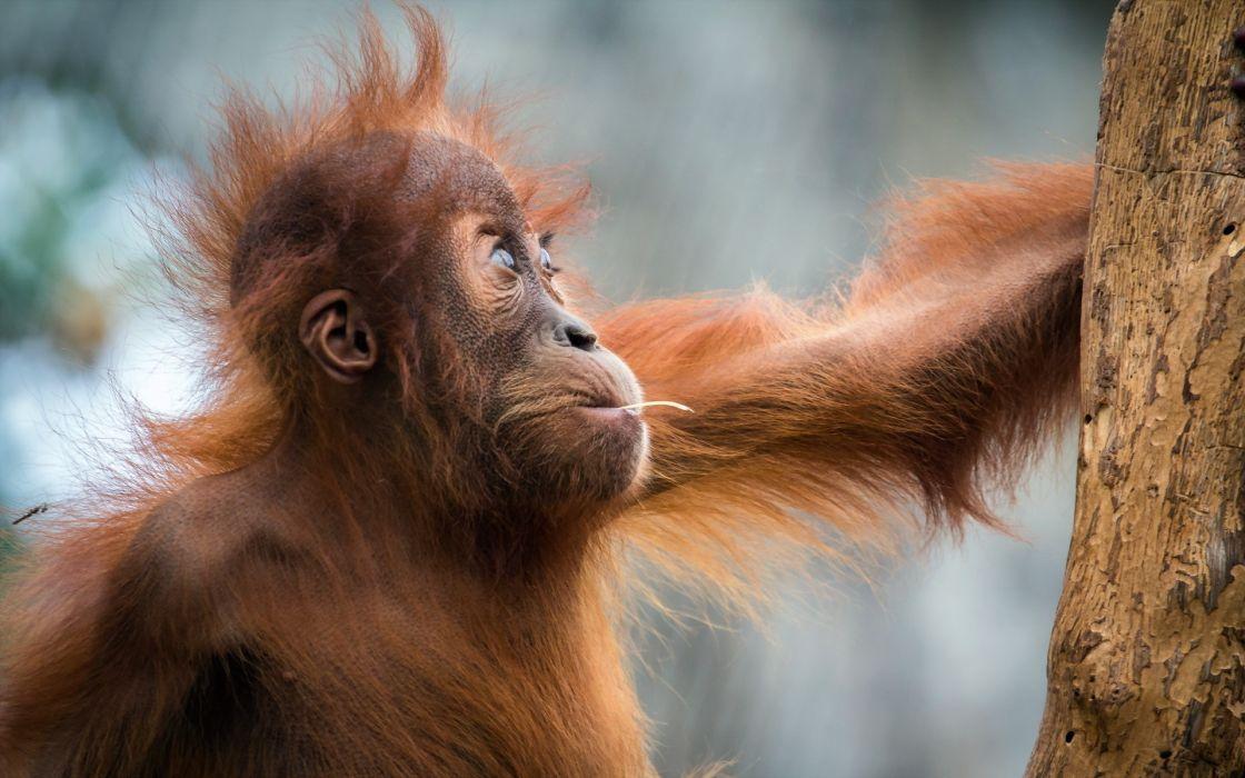 Monkeys Hair Animals orangutan wallpaper