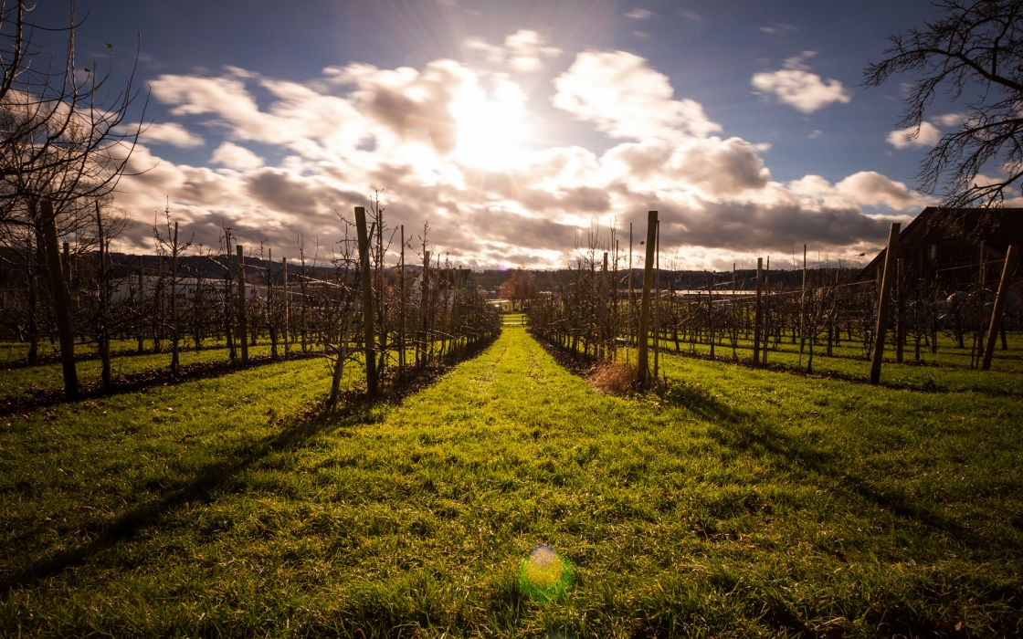 Vineyard Sunlight Grass wallpaper