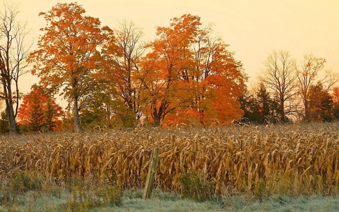field  corn  autumn  nature trees thanksgiving halloween landscapes plants wallpaper