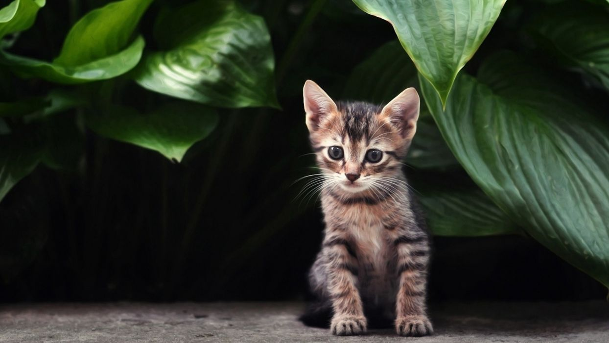 cat kitten tabby babies cute face eyes wallpaper