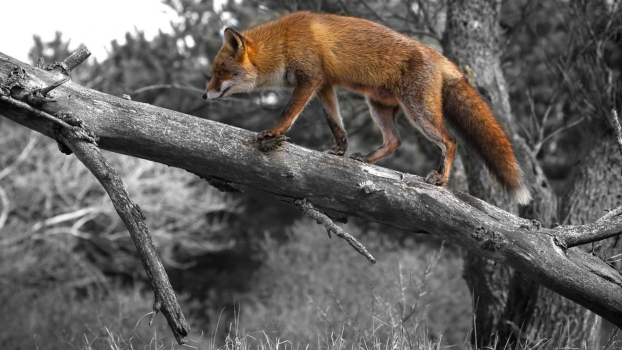 foxes fox selective coloring trees wallpaper