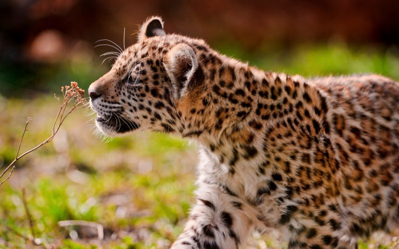 jaguar cub cats pattern spots wallpaper