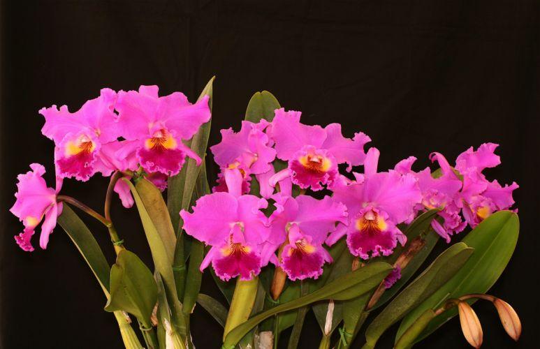 Orchid Flowers bouquet pink wallpaper