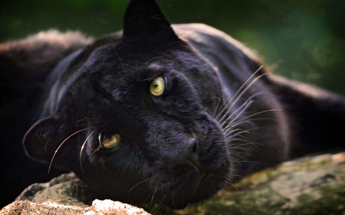 panther leopard black face eyes wallpaper