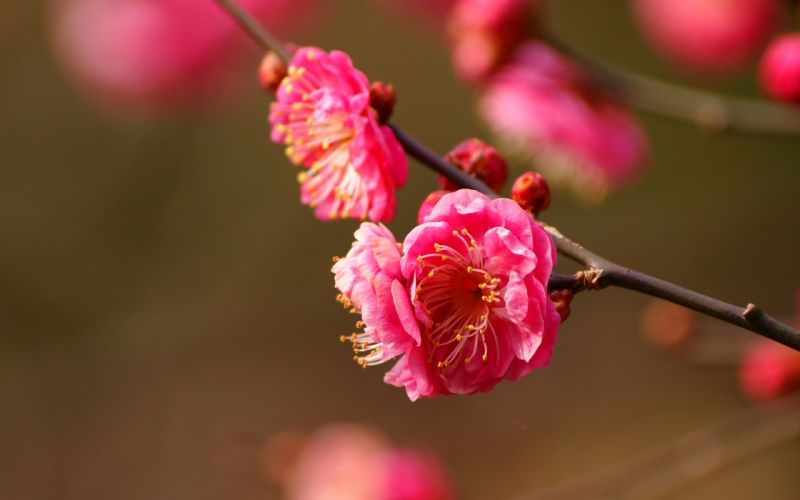 pink flowers macro blossom wallpaper