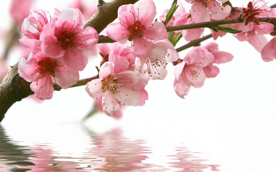 spring cherry branch flower pink water reflection wallpaper