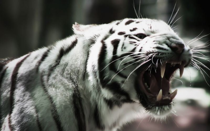 tiger cats stripes pattern fangs wallpaper