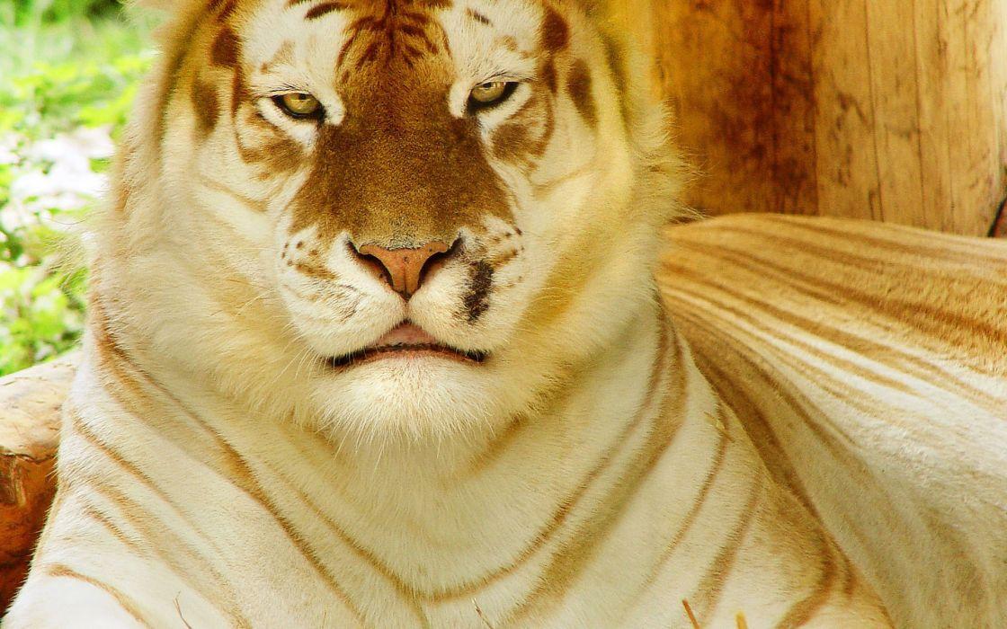 tiger gold tiger wild cat muzzle face eyes pattern stripes wallpaper