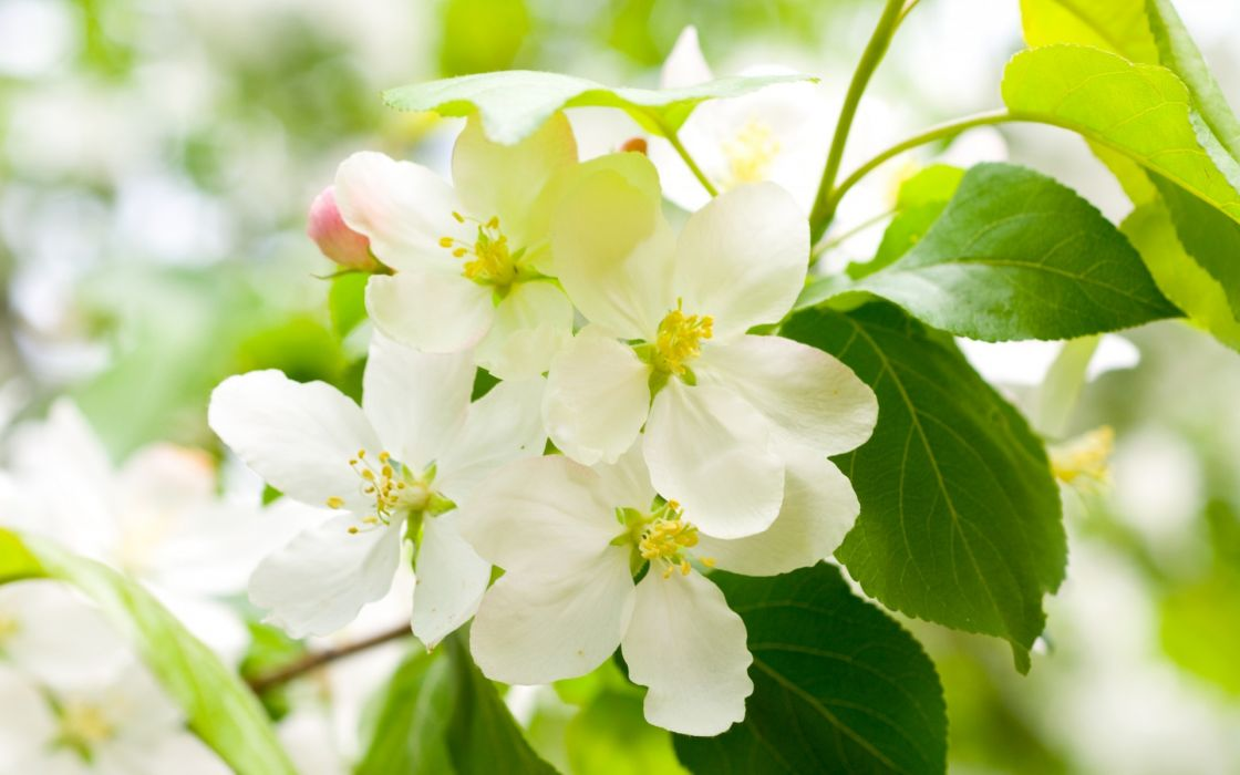 cherry blossom spring flowers white petals branches trees leaves green wallpaper