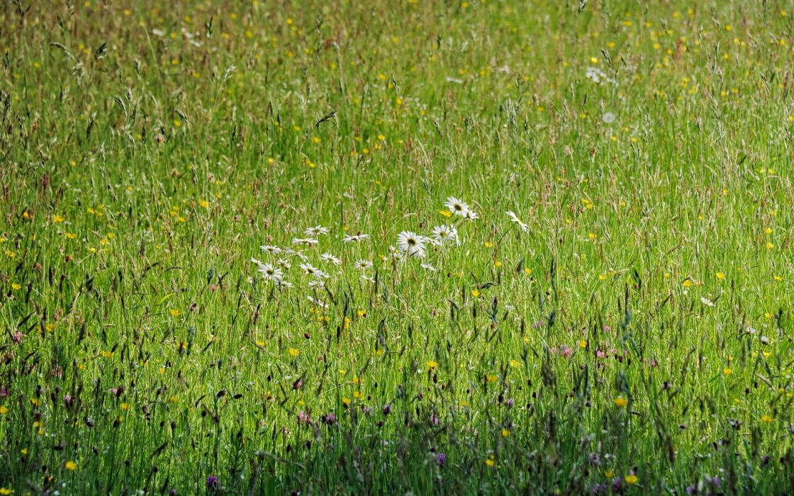 field  flowers  summer  nature spring grass wallpaper