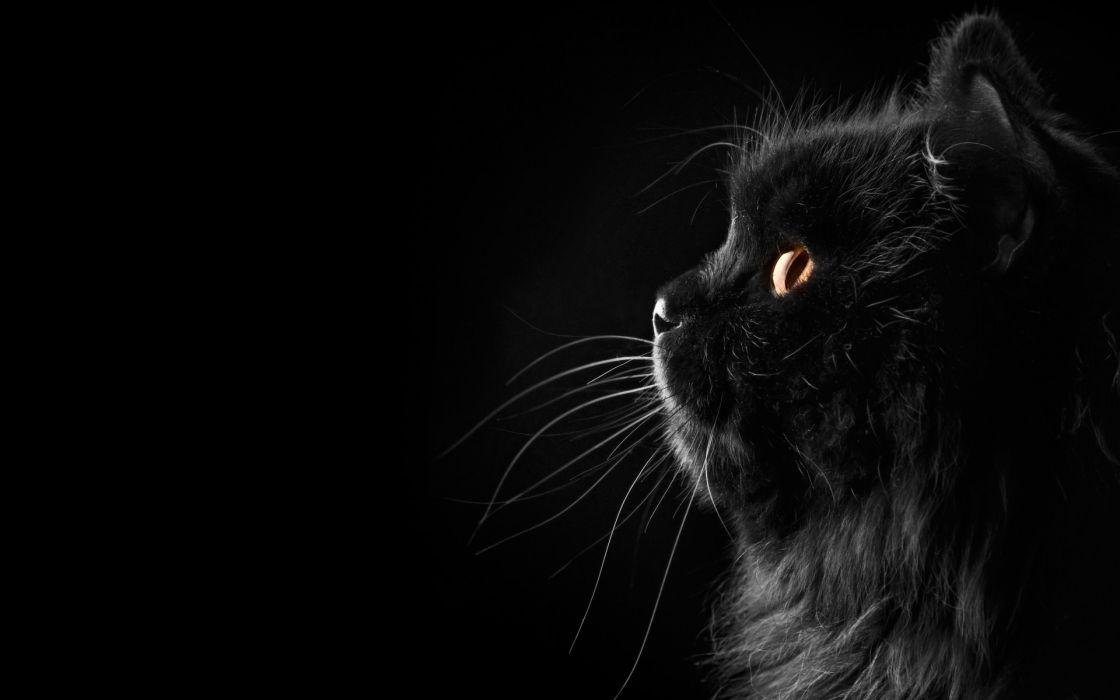 cat Persian black female profile whiskers face eyes wallpaper