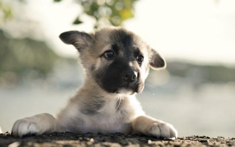 german shepherd dog puppy babies faces eyes wallpaper