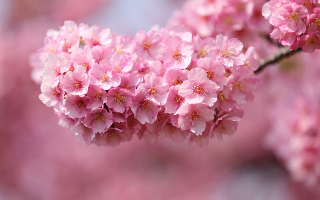 Japan sakura cherry twigs wood flowers pink petals close-up blurred macro wallpaper