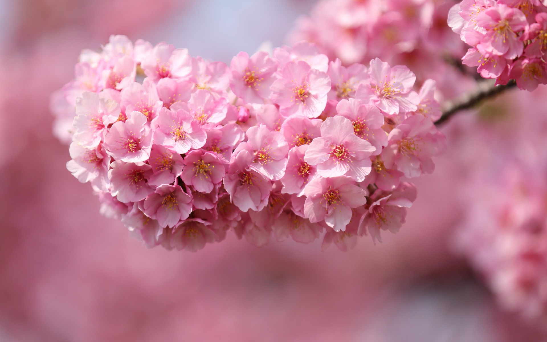 japan sakura cherry twigs wood flowers pink petals close-up blurred