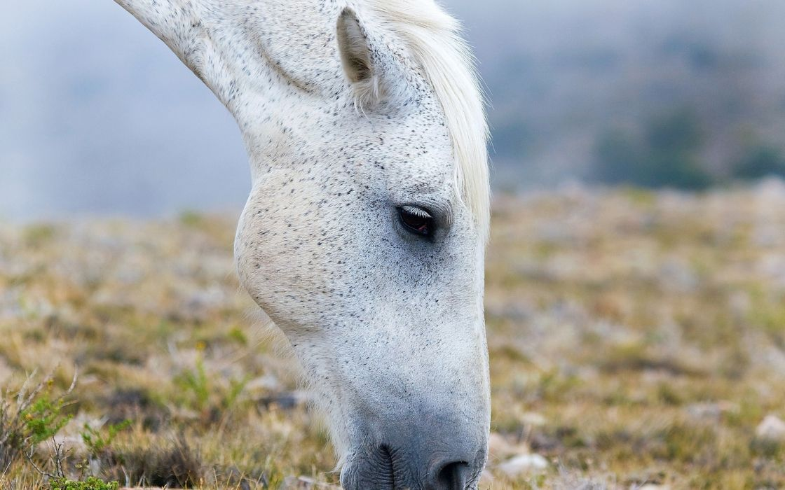 horse white face pasture eyes wallpaper