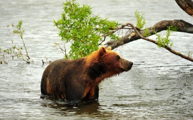 bears rivers wallpaper